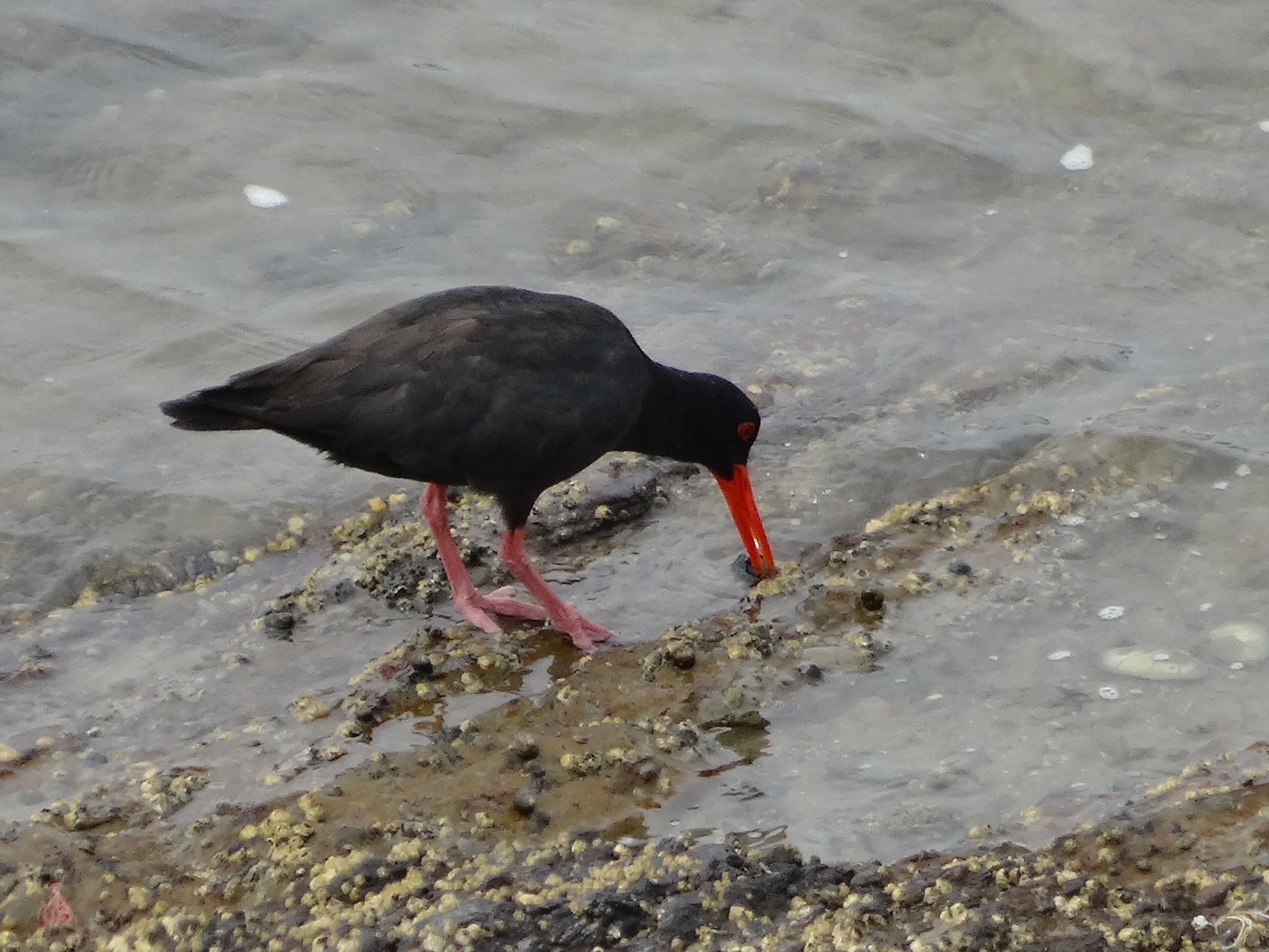 vogel bij Stilbaai