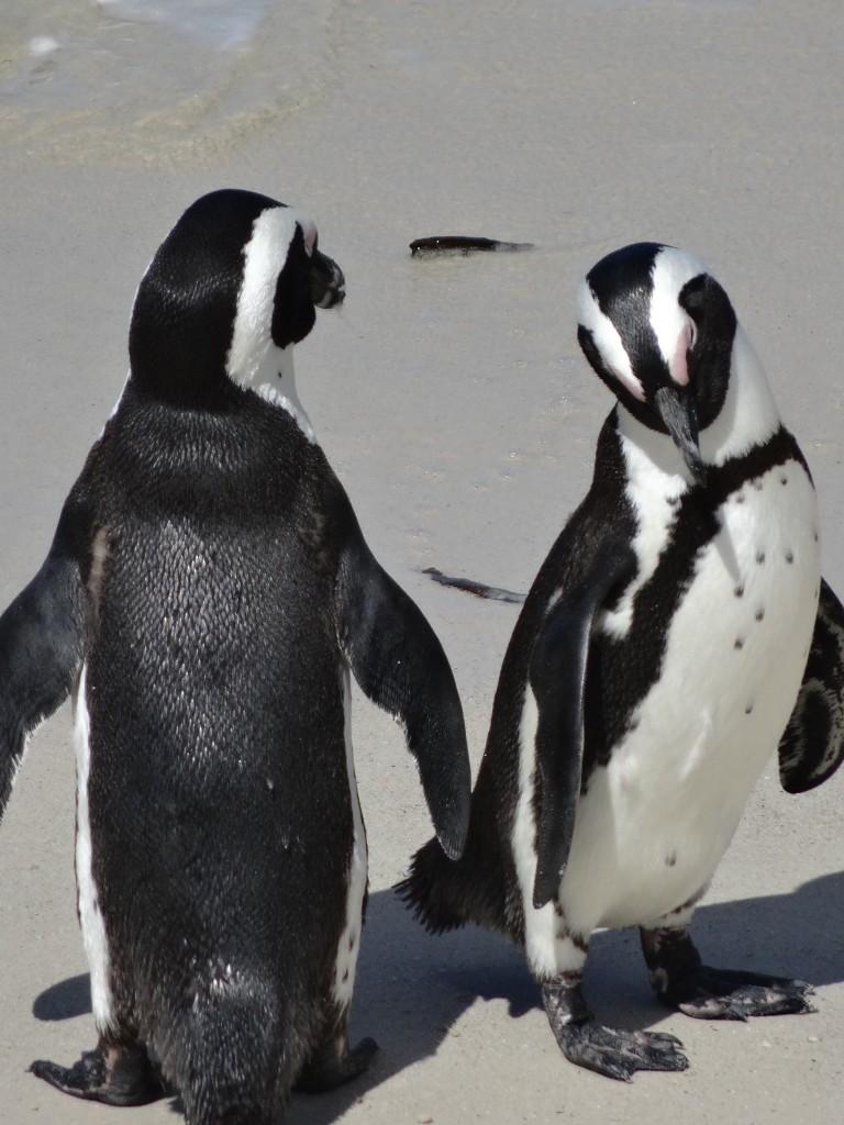 Pinguïns bij Boulders Beach, Zuid Afrika