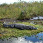alligators in Ibera nationaal park