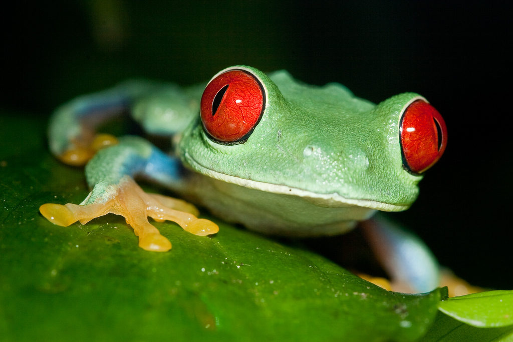 de roodoogkikker in Costa Rica